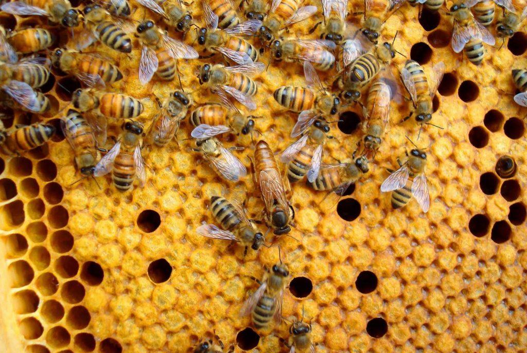 Пчёлы бакфаст особенности