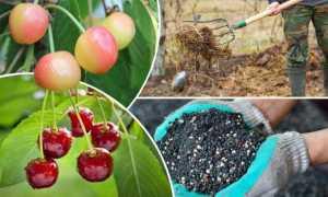 Подкормка вишни круглый год