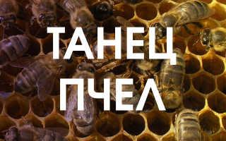 Особенности танца пчел и его значение