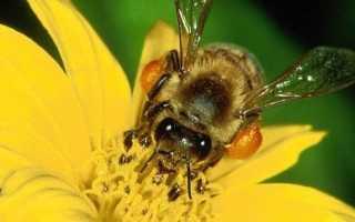 Северные пчелы – места обитания и отличительные качества породы