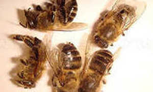 Методы лечения простатита пчелиным подмором