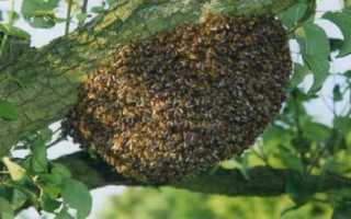 Способы предупреждения роения пчел