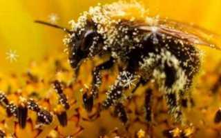 Вред и польза пчелиной, пальмовой пыльцы для здоровья