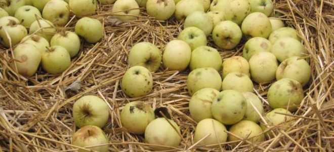Любимые Антоновские яблочки