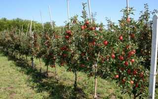 Особенности посадки и выращивание яблонь на карликовой подвое