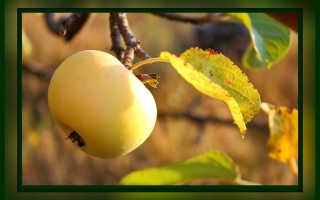 Осень — обработка яблонь от болезней и вредителей