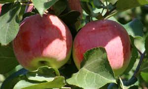 Яблоня Орловское полосатое: описание сорта