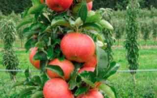 Особенности посадки и ухода за колоновидными яблонями