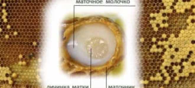 Лечебные свойства пчелиного маточного молочка