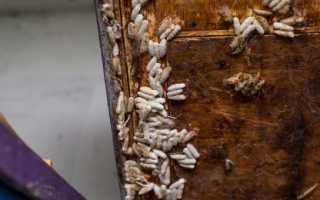 Развитие и применение в народной медицине личинок пчел