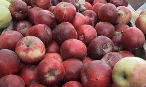 О лучших сладких сортах яблонь