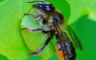Знакомство с пчелой-листорезом и как с ней бороться