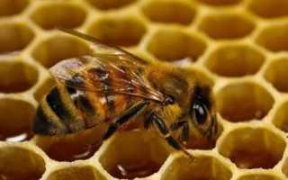 Основные характерные черты башкирской пчелы