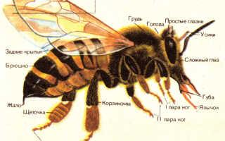 Описание пчел и их жизнедеятельности