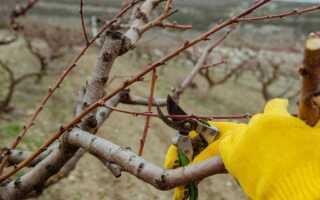 Как омолодить яблоню из пня