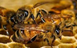 Особенности эволюции разновидностей пчел