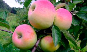 В чем особенность яблони Имрус