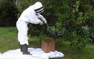 Снимаем пчелиный рой с дерева