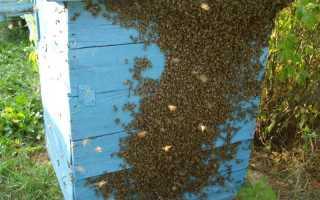 Основные принципы ловли пчелиных роев