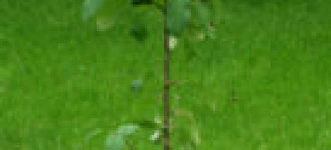 Особенности посадки и выращивания яблонь с закрытой корневой системой