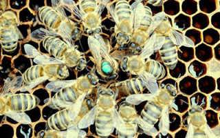 Способы мечения пчелиных маток