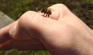 Осы и пчелы Их вражда