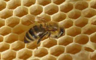 Как пчелам и осам удается делать мед и строить соты