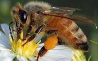 Агрессивность и работоспособность африканизированной пчелы