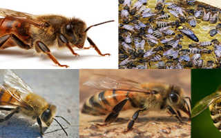 Основные черты породы кавказских пчел