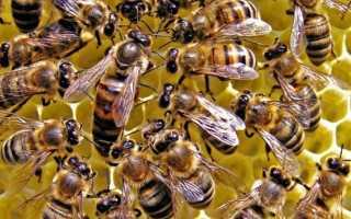 Иерархия пчел: прародительница улия