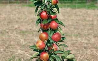 Валюта колоновидная яблоня