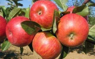 Особенности яблони Карамельная, описание и фото