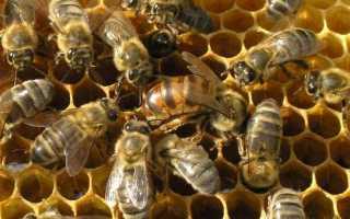 Зимоустойчивость и высокая продуктивность среднерусской пчелы