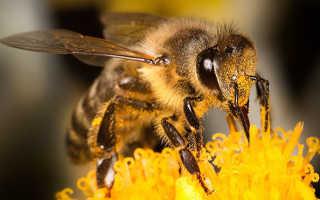 Миролюбивость и зимостойкость карпатской пчелы