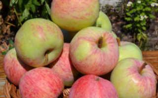Характеристика яблони Яблочный спас
