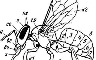 Особенности строения, развития и размножения медоносной пчелы
