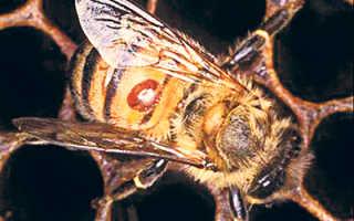 Болезнь пчел – акарапидоз, причины, диагностика и методы лечения