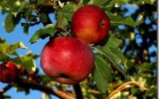 Яблоня апорт Характеристики