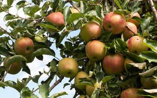 Характеристики яблок сорта Джонаголд