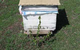 Выстраивание маточников пчелами