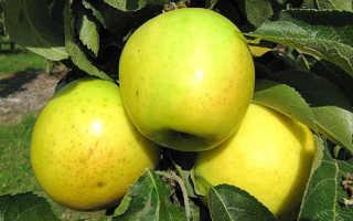 Посадка и выращивание яблони Малюха колоновидная