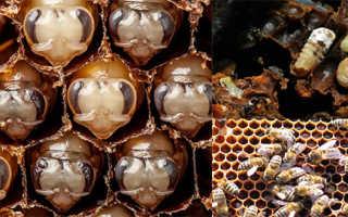 Особенности и заболевания расплода пчел