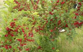 Вид войлочного сорта вишни относится к кустарникам