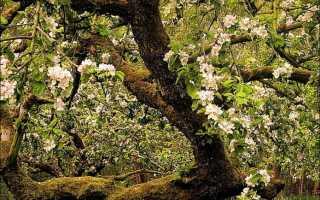 Черный рак на яблоне: описание болезни и меры борьбы