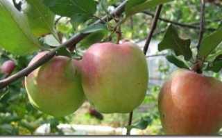 Особенности яблони Зимняя красавица