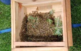 Как можно быстро и эффективно поймать рой пчел