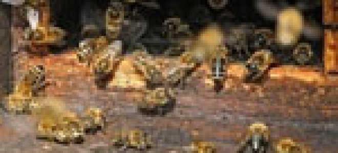 Последствия и лечение вирусного паралича пчел