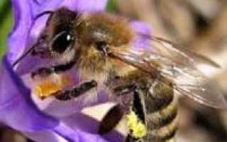 Жизненный цикл рабочих пчел и их предназначение