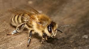 Пчелиный яд и сроки функционирования жалоносного аппарата рабочих пчел