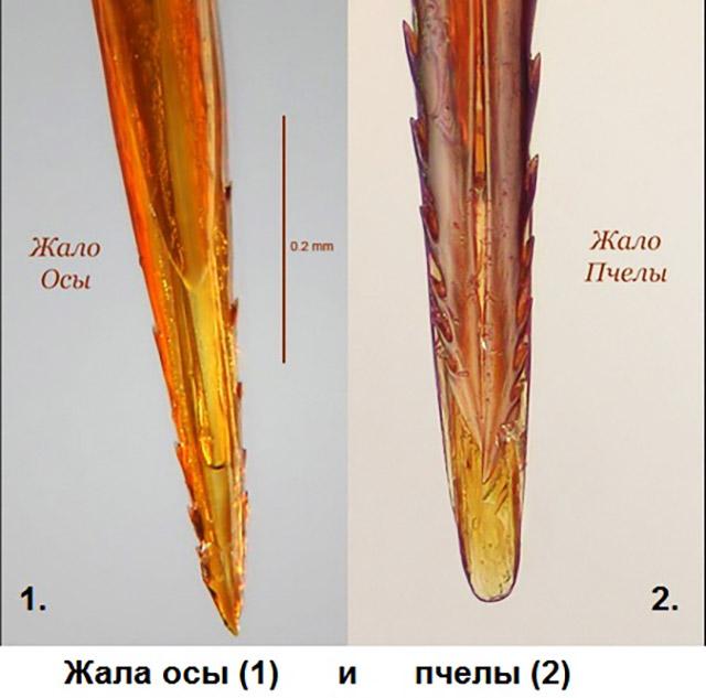 Отличия от жала осы